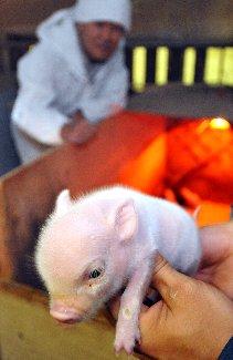 題名「超ミニ豚、医療用に期待」