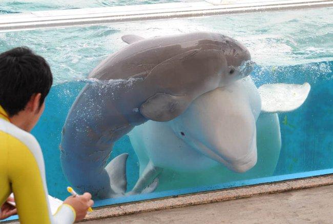 シロイルカの赤ちゃん誕生