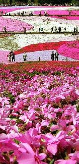 題名「咲き誇るシバザクラ」